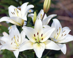 white lily easter